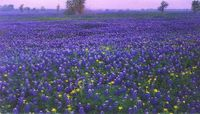 Bluebonnets_in_the_hill_country_of_texas